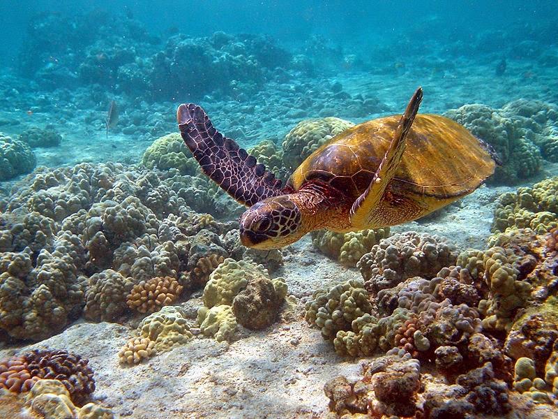 Serpenti di tutto e di pi tartaruga marina verde for Incubazione uova tartaruga