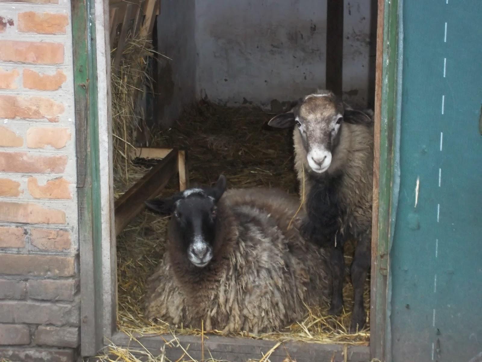Сарай для овец своими руками фото 164