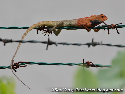 Changeable Lizard (Calotes versicolor)