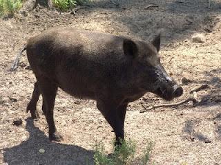 الخنزير عندنا بامغران
