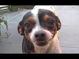 Cadela arrependida por ter feito xixi onde não devia