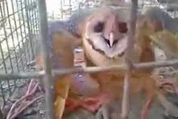 Burung Hantu Ini Diinterogasi dan Dituduh Sebagai Penyihir