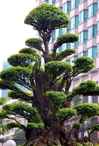Top unique bonsai trees gallery for Famous bonsai trees