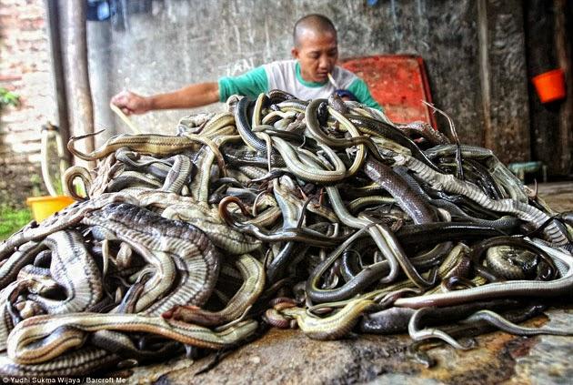 A worker peeling a snake skin