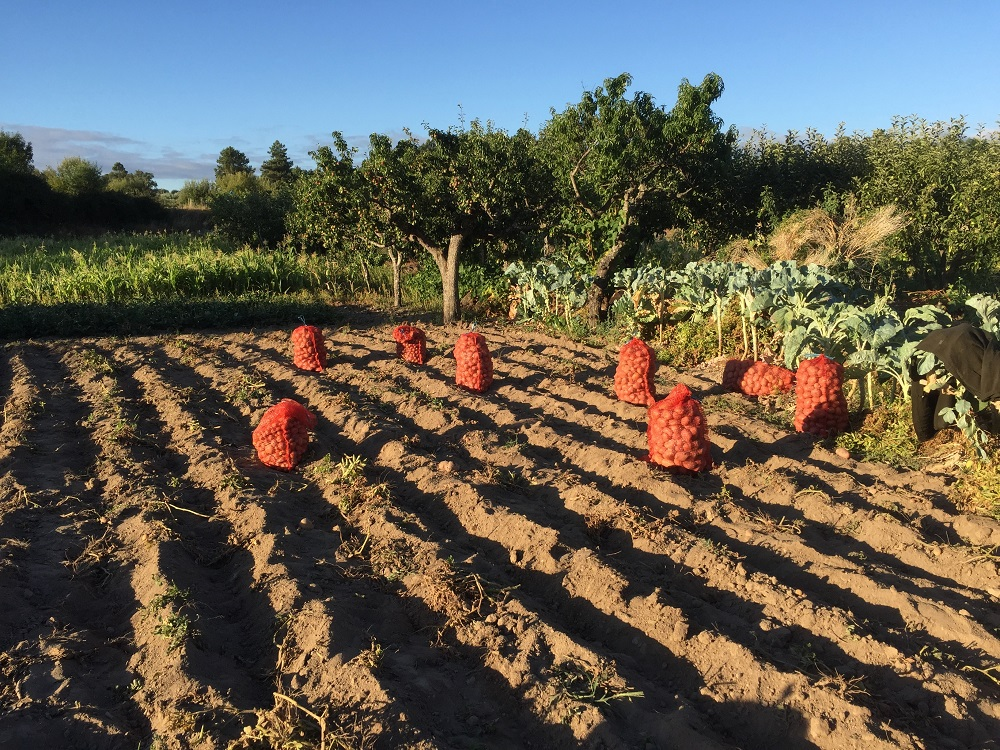 peexo fashion blogger on holiday in portugal potato picking