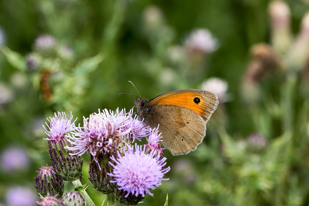 Meadow Brown - Loughton Valley Park, Milton Keynes