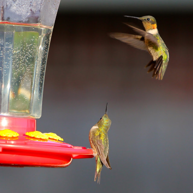 Action at the Hummingbird Feeder