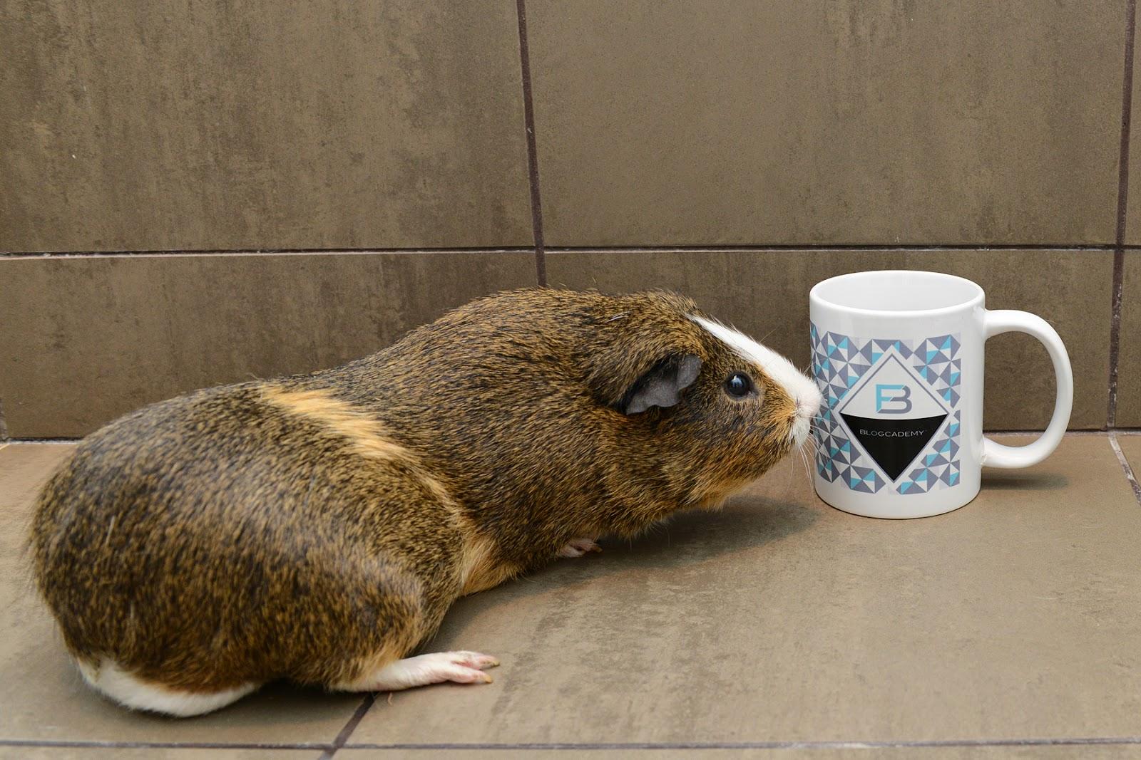 guinea pig blogcademy blogging