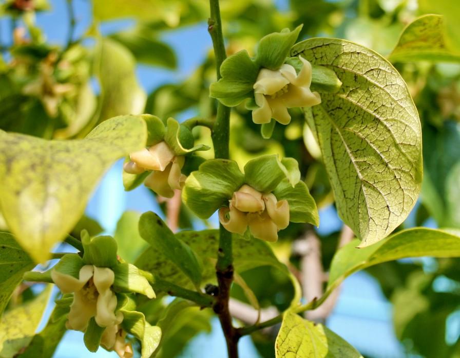 листья хурмы