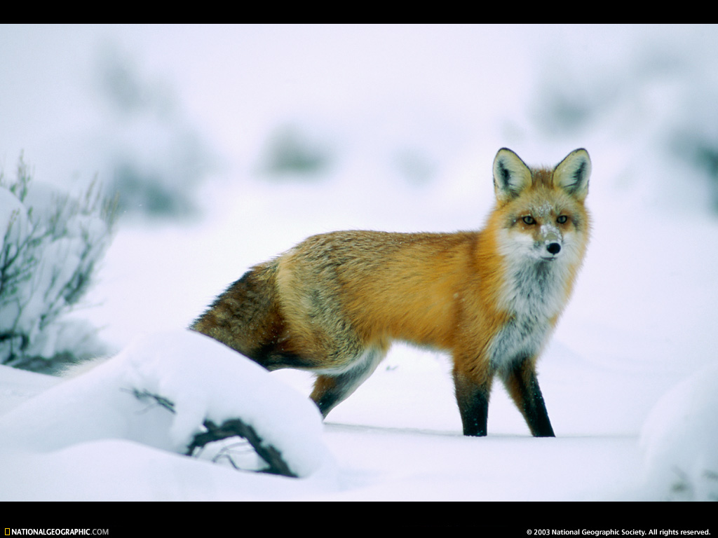red fox backgrounds