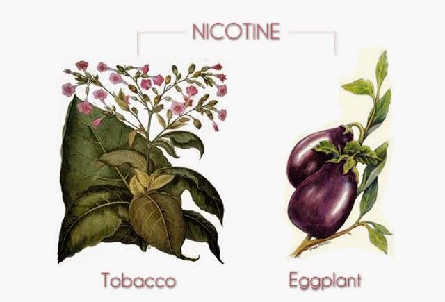 Nicotine in eggplant