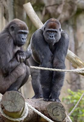 Taronga Zoo, Sydney, Zoo, France, Gorilla, Animal, Gorilla Forest exhibit, Exhibition, International,Western Lowland Gorillas,  Kibali, Australia, Nature,