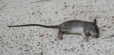 Interpretação e Significado dos Sonhos com Rato