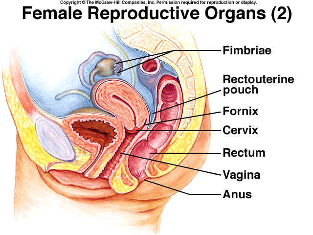 Rugby 7 Female Reproductive Organs Diagram