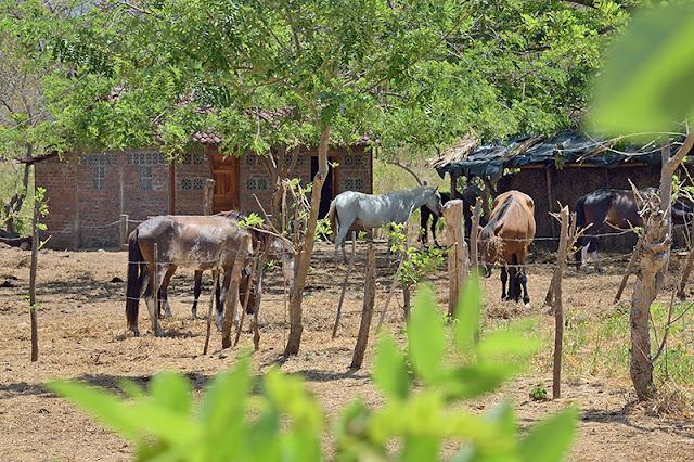 Les chevaux à la Finca Montania Sagrada