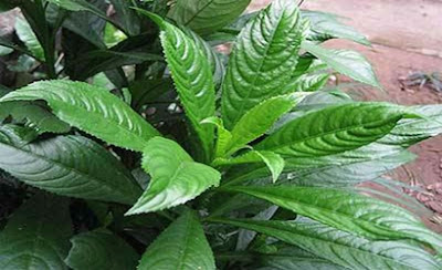 Bài thuốc chữa viêm họng mãn tính hiệu quả bằng lá xương sông