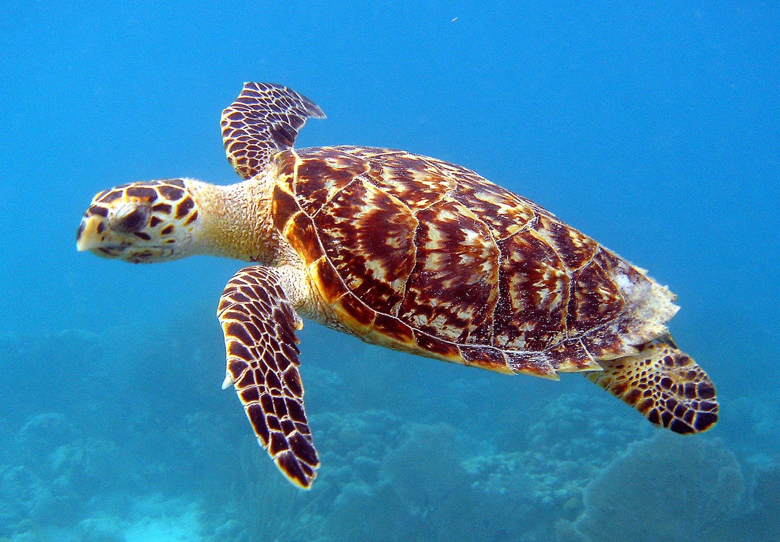 Hawksbill Sea Turtles have a wide run, recognised transcendental in ...