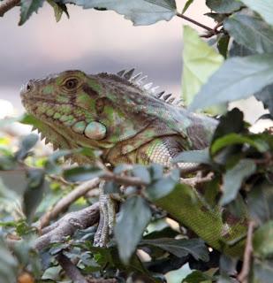 Iguana em centro de triagem em BH; répteis são traficados até pelo correio (Foto: Eugênio Moraes/Hoje em Dia)