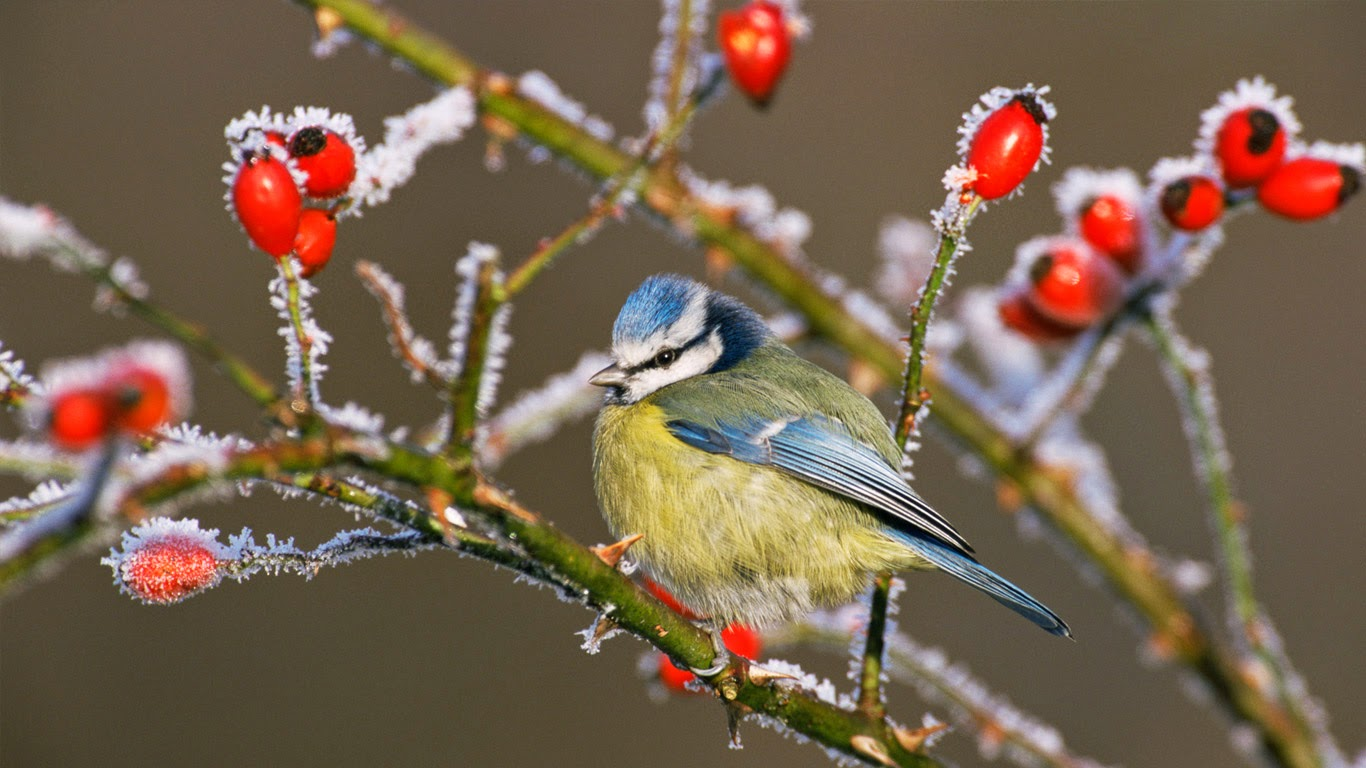 Blue tit (Parus caeruleus) and rose hips in winter frost (© Nature Picture Library/Britain On View/Getty Images) 477