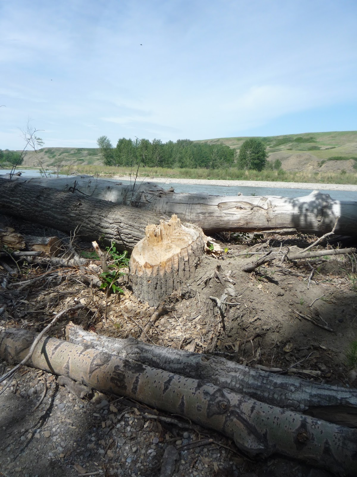 how to live well with beavers