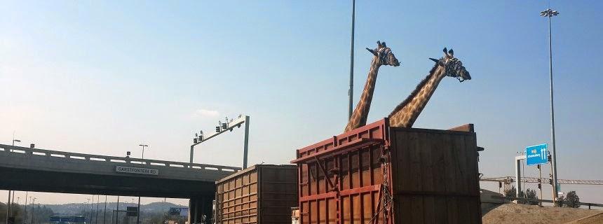 giraffe bridge died