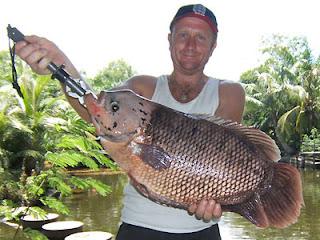 Ikan gurami rakasa ( osphronemus goramy )