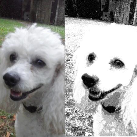 photos d'un caniche blanc : photo originale (à gauche) et photo retouchée avec un effet dessin (à droite)
