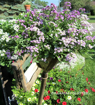 Cottage Garden - Sweet Alyssum