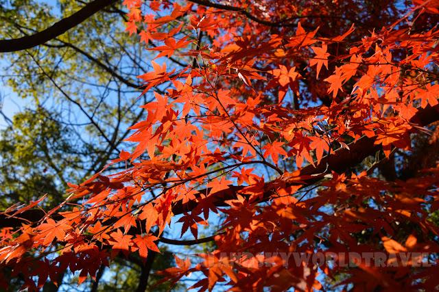 鐮倉鶴岡八幡宮, 紅葉,  kamakura red leaves