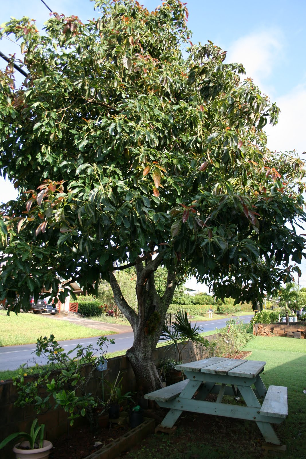 Dwarf Avocado Tree http://tastytravels-holly.blogspot.com/2011/05/dads-avocado-tree.html