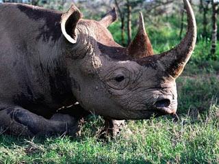 Soñar con Rinocerontes ¿Que significa?
