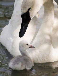 mãe cisne e cisnezinho