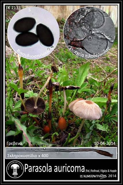 Parasola auricoma (Pat.) Redhead, Vilgalys & Hopple