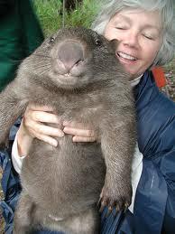 Wombat image