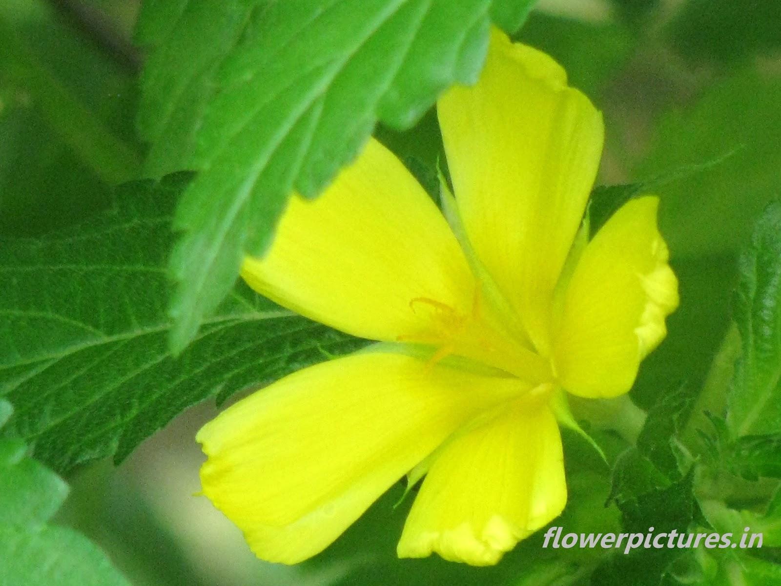Yellow Flower India
