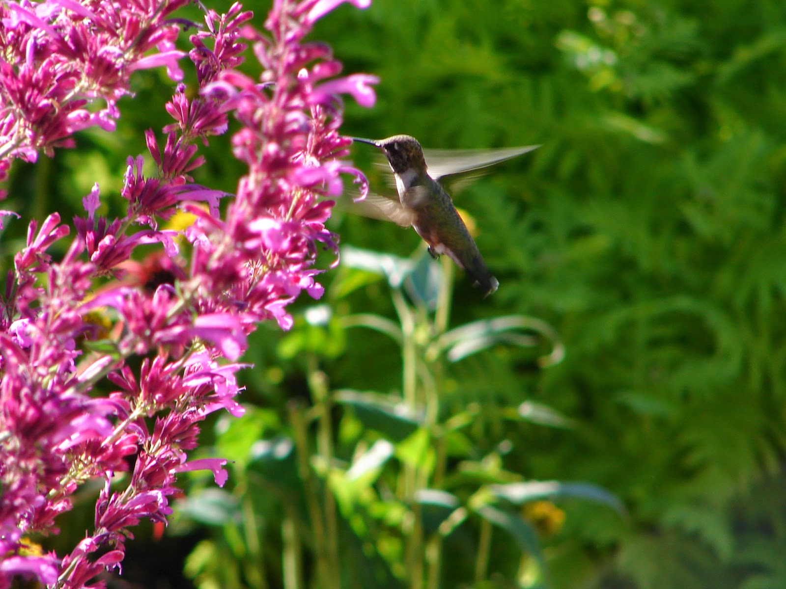 New utah gardener the most drought tolerant waterwise flowers agastache several varieties attract hummingbirds in utah mightylinksfo