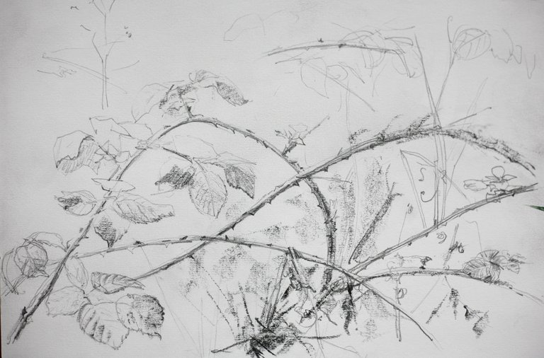 Bramble Bush Drawing Bramble Bush Pencil