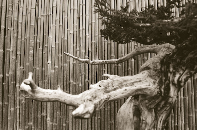 © 2012 Amber Schley Iragui, bonsai