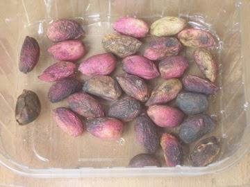 Fresh pistachios