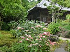 海蔵寺のアジサイ