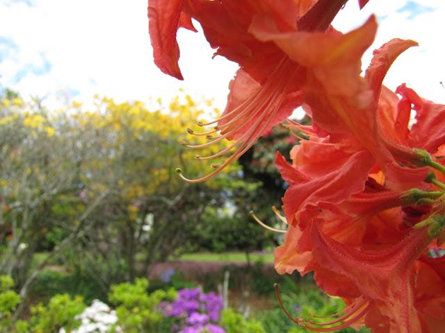 blazing-color-azalea