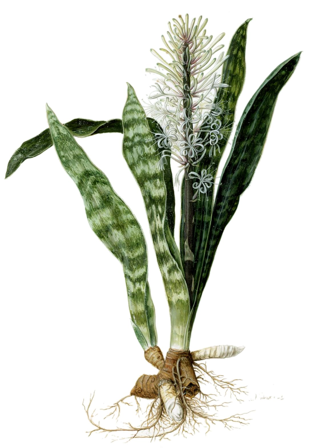 Plantas de interior m sticas sansevieria trifasciata a - Jacinto planta interior ...