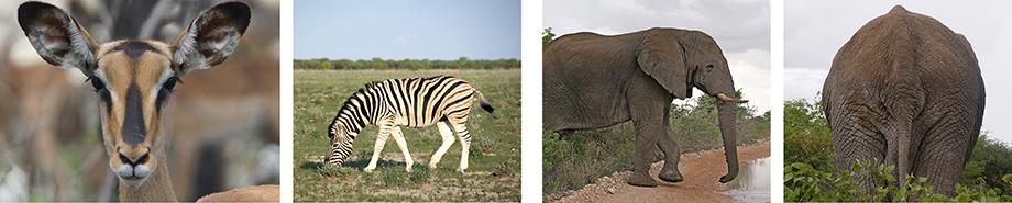 Ynas Reise Blog | Etosha N.P. | Springbock | Zebras | Elefant