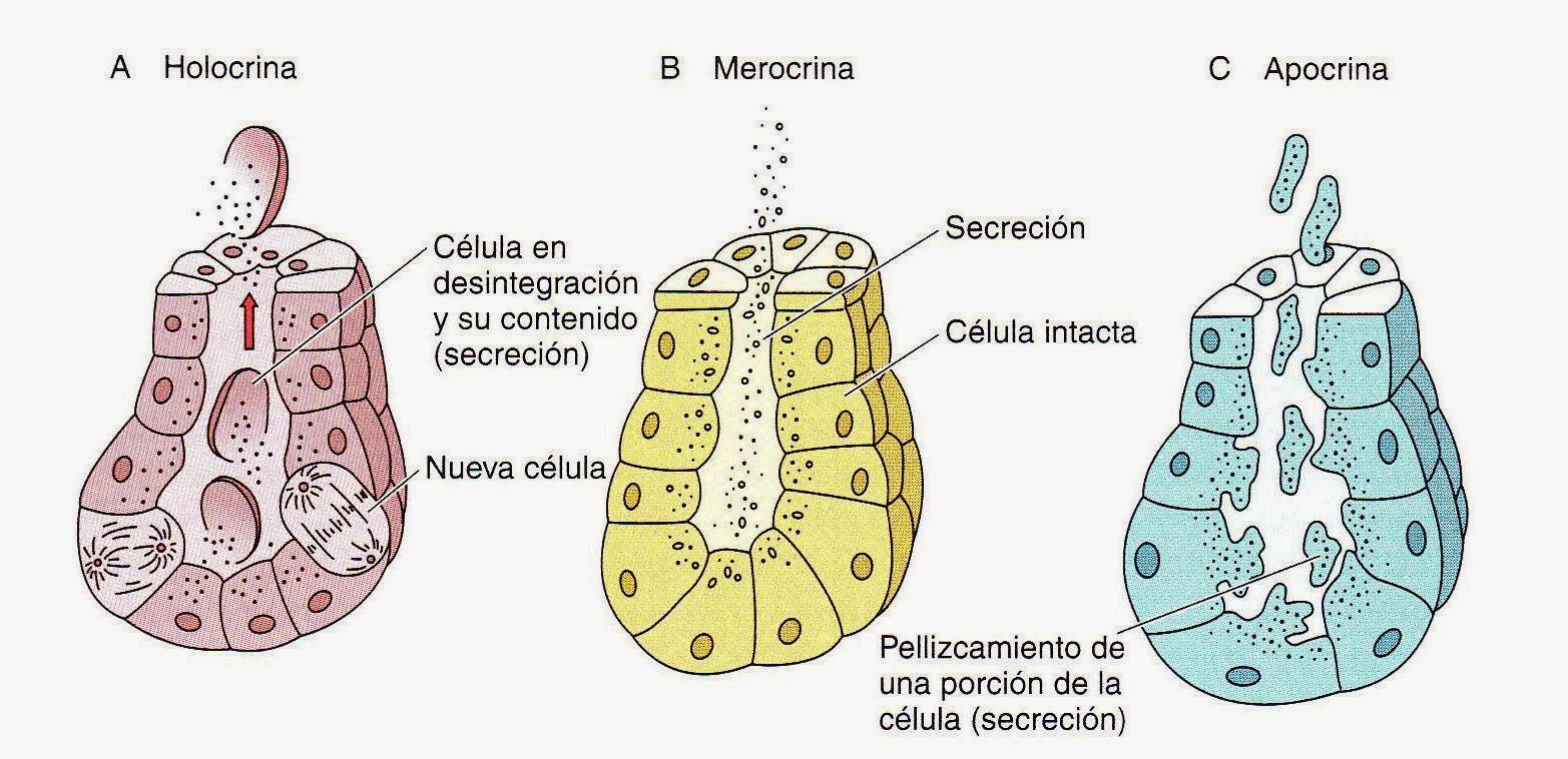 Magnífico Glándulas Sudoríparas Ecrinas Bosquejo - Anatomía de Las ...