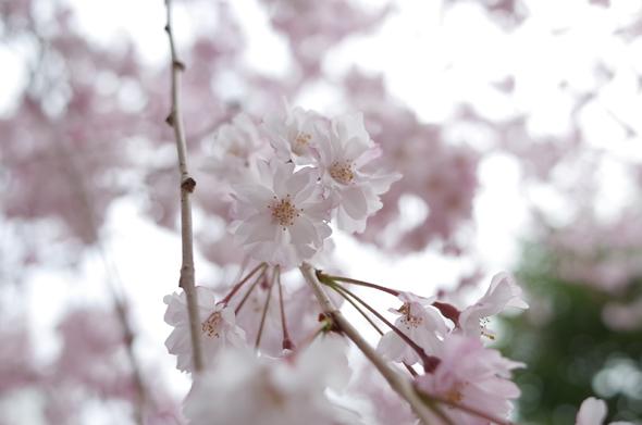 Fotografia di ramo fiorito scattata con la Ricoh GR