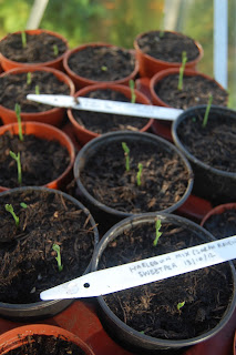 Sweet peas germinating in Autumn. Get ahead for next summer now.