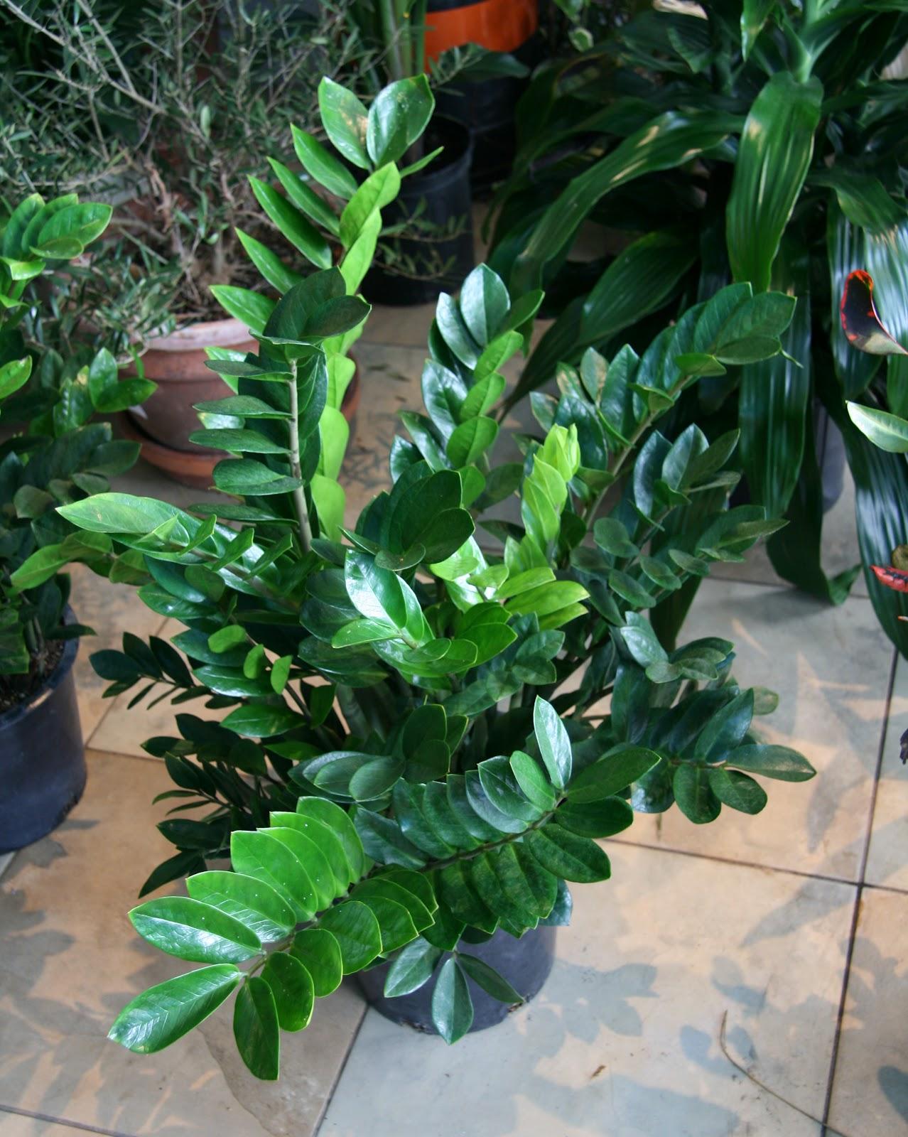 zamifolia plant best office plants no sunlight