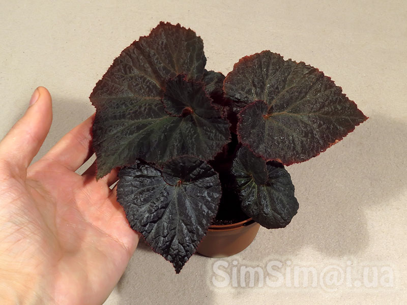"Begonia ""Midnight Magic"""