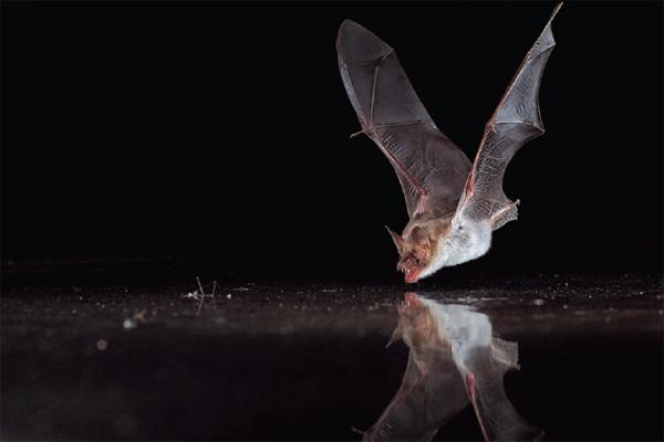 Ο συναρπαστικός χορός της νυχτερίδας