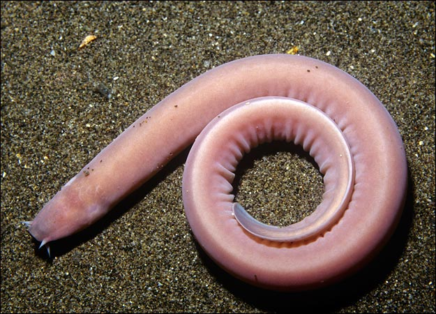 Hagfish on electric fish